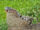 American Iguanas (Earth-7045)