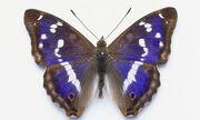 Betsy farfalla