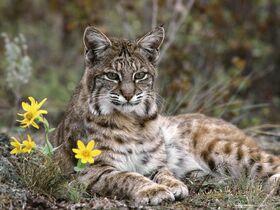 Bobcat-Montana