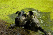 Swamp-dog
