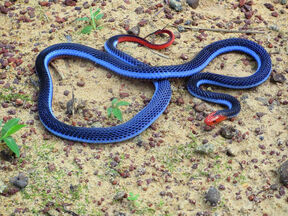 Malaysian Blu Coral Snake