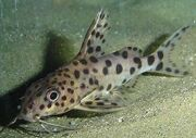 Catfish-pictus