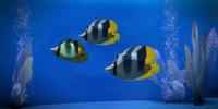 Striped Dartfish