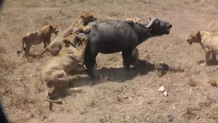 Lions Attack ONE Buffalo - Lion vs Buffalo