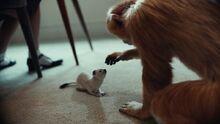 Золотая обезьяна Пан горностай1 телесериал