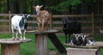 Five Goats on Spools