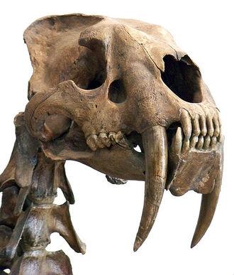 511px-Smilodon head