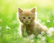 Категория:Мир кошек