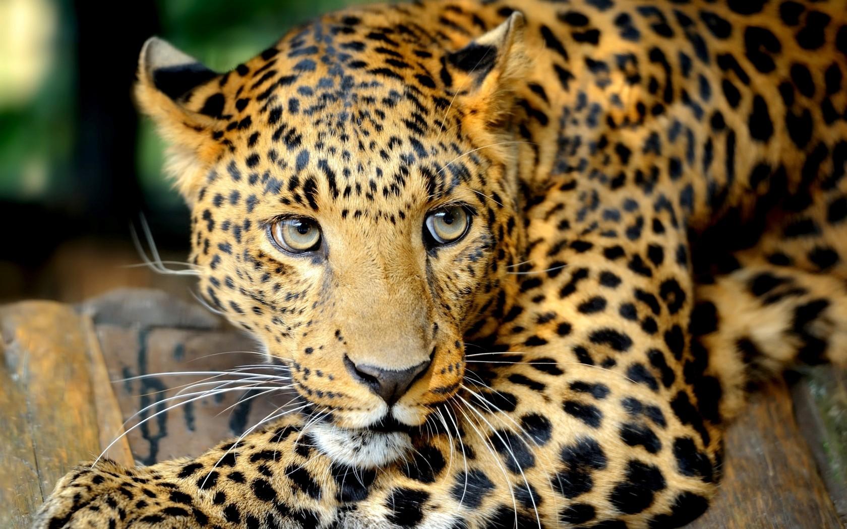 1646f8190d02 Леопард   МяуМур Мир   FANDOM powered by Wikia