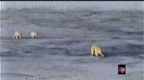 Clip of Polar Bear trying not to drown