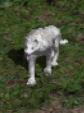 Wolf Companion