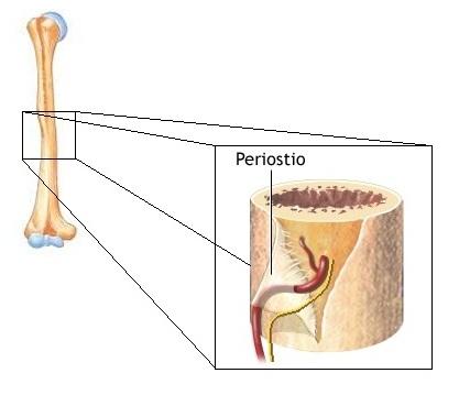 Imagen - Periostio.jpg   Wiki Medicina En Mi Vida   FANDOM powered ...
