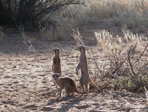 Zarathustra, Logan, unkown meerkat2