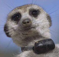 Zaphod meerkat