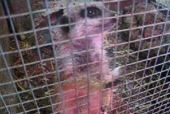 Wild Vs Captivity Meerkats Wiki Fandom