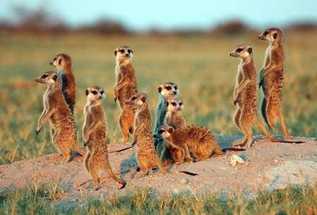 File:Meerkat Manor the Tazarians.jpg
