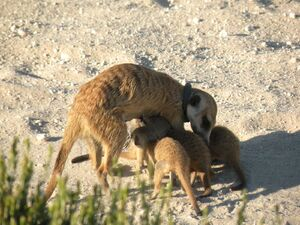 Drie Doring Mist and pups (1)