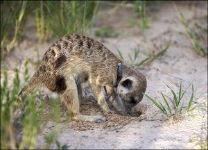 Meerkat-family-rocket-dog0