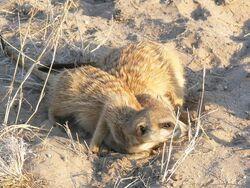 A meerkat squable(Frisky group)