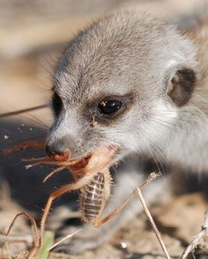 A pup gorging on a prey item( Rufus Whiskers)
