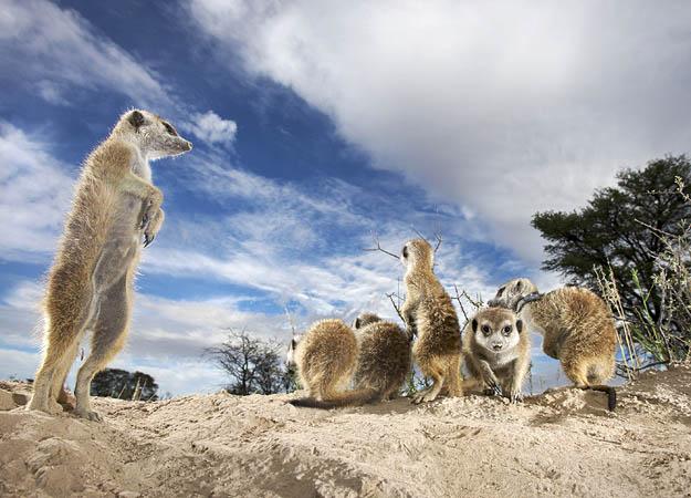 File:Meerkats on alert..jpg