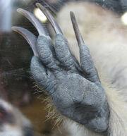 Meerkat Claw