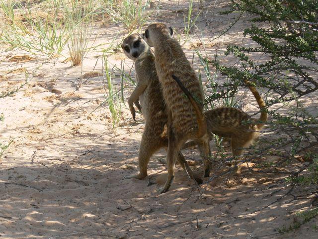 Meerkat Society | Meerkats Wiki | FANDOM powered by Wikia