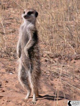Evicted female meerkat