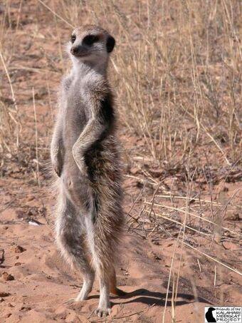 Meerkat Meerkats Wiki Fandom