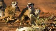 The Meerkats - Cobra Mobbing