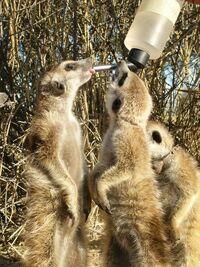 Rascals meerkats drinking