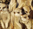 Frisky Meerkat Group