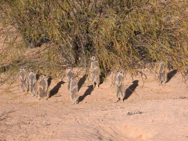 File:Young Ones meerkat group .jpg