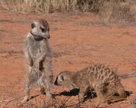 Dominant meerkats(Young Ones group)