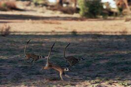 Meerkat group charge