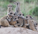 Meerkats Of The Kalahari Wiki