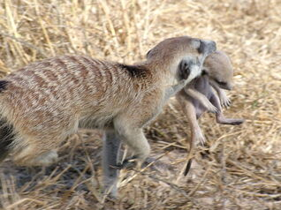 Meerkat burrow move(Nomads group)