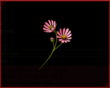 Aster Tataricus IS