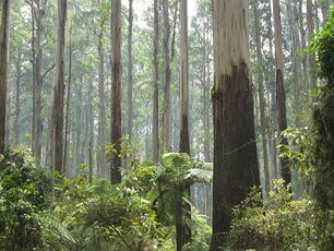 800px-Sherbrooke Forest Dandenong Ranges