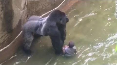 Harambe - Video Gallery
