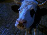 Maggie O'Halloran cow prank