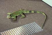 Tina as iguana