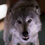 Wolf, 2370