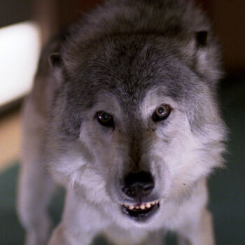 "...as the wolf in ""Dark Page"""