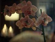 Orchidaceae Dahj oncidium