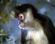 New earth primate