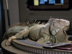 Leonard, an iguana