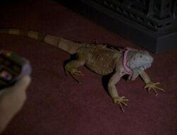 Spot-Iguana