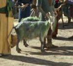 Organian goat