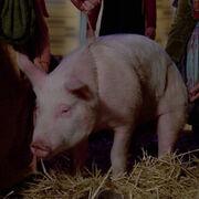 Bringloidi pig